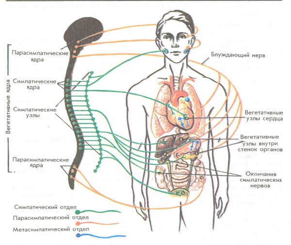 bluzhdayushhij-nerv