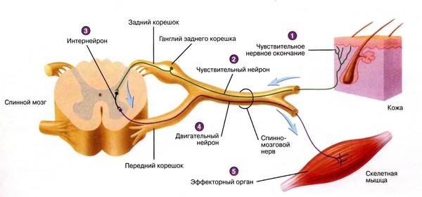 Нервно-мышечные-веретёна