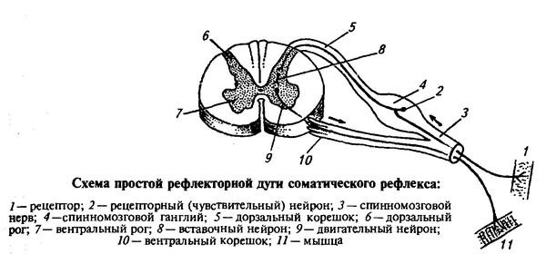 строение и функции нервной системы