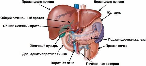 анатомия печени