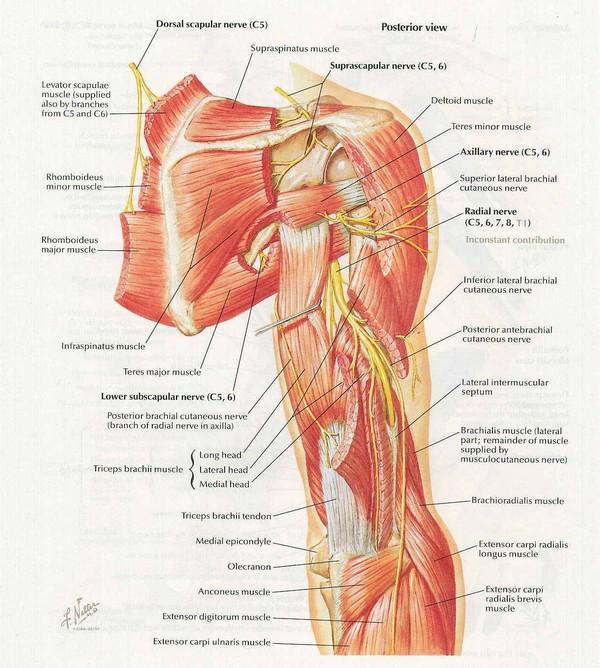 анатомия плечевого нерва