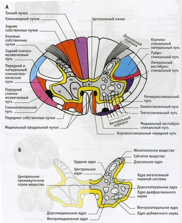 анатомия проводящих путей