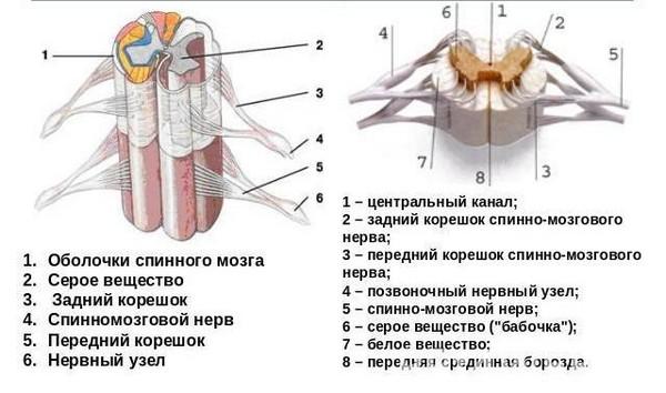 части спинного мозга
