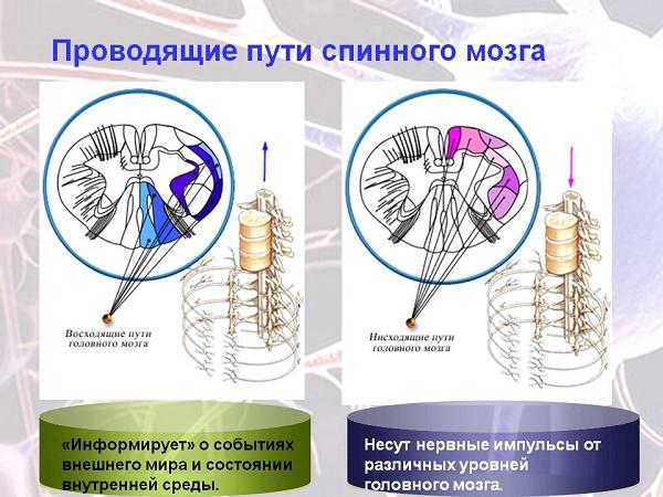 два пути спинного мозга