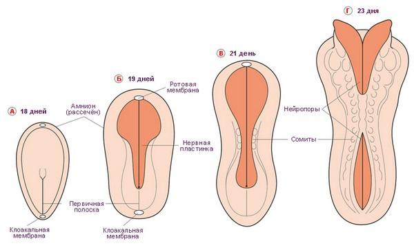 эмбриональное развитие мозга
