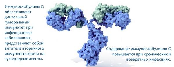 Иммуноглобулин Г