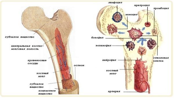 костный мозг человека