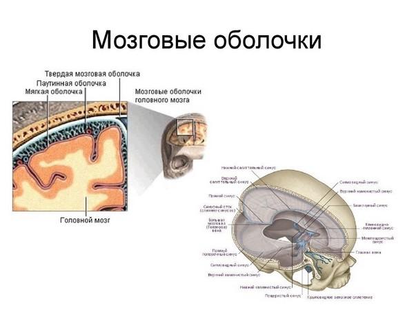 мозговые оболочки