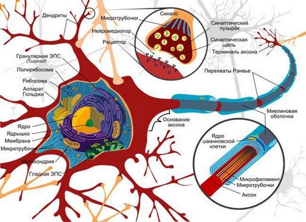 нерв и его строение