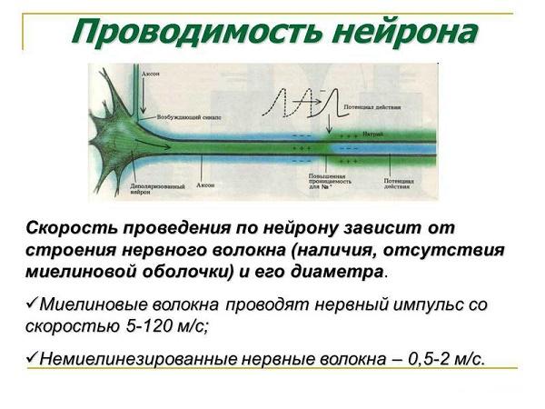 проводимость нейрона