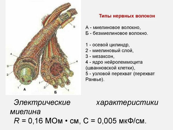 типы нервных волокон