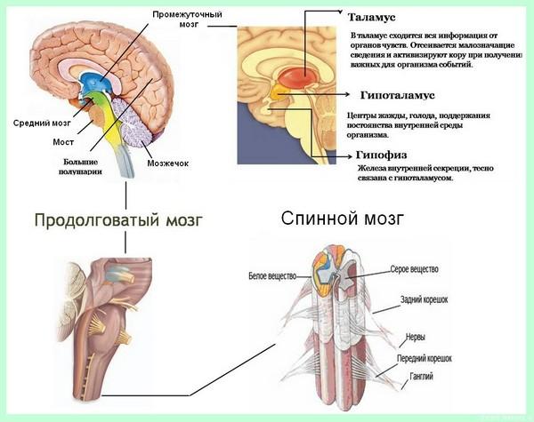 центарльная нервная система