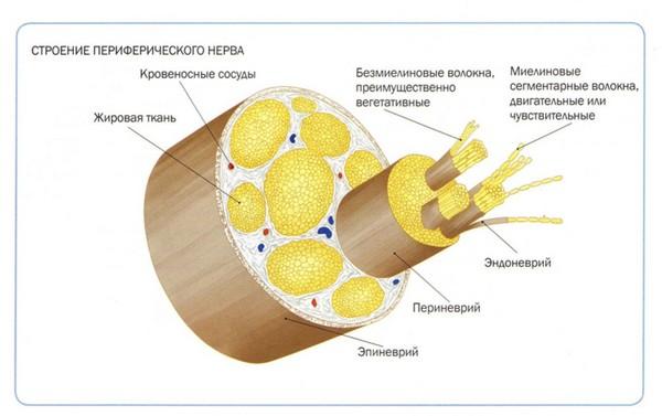 анатомия перефирической неровной системы