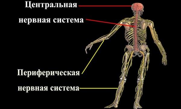 centralnaja-i-perifericheskaja-nervnye-sistemy-cheloveka