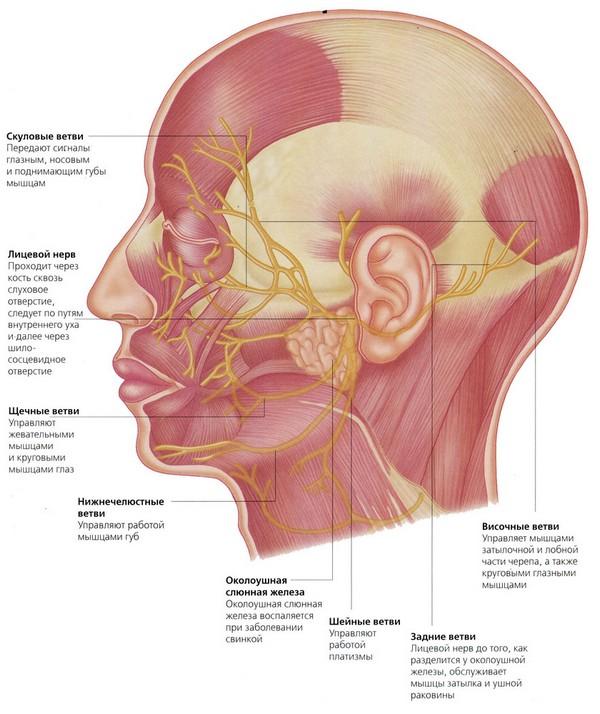 анатомия нервов