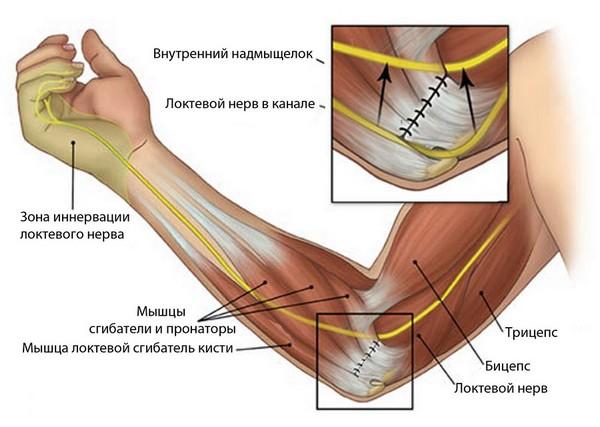 анатомия локтя