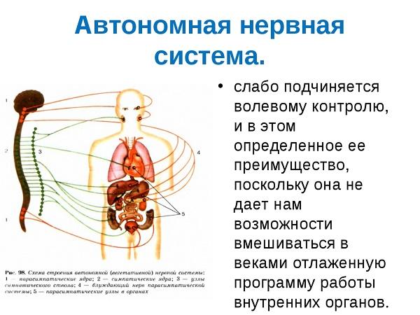 Действием парасимпатического отдела вегетативной нервной системы является