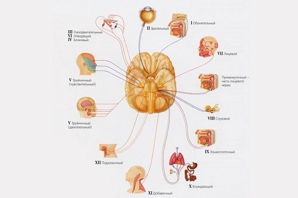 нервы мозга