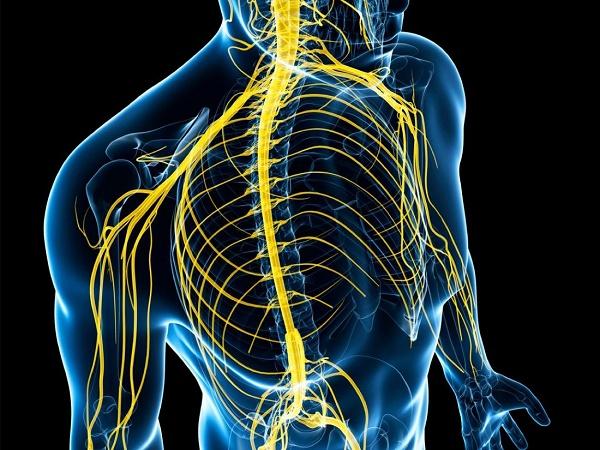нервная система