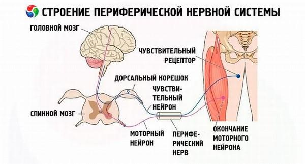 переферическая система