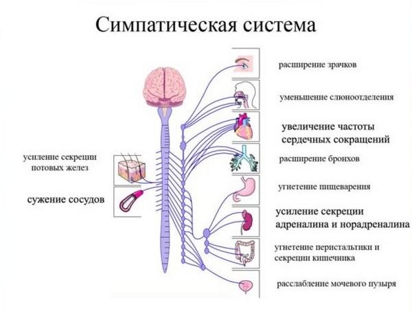симпатическая система