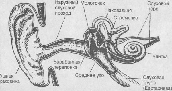 слуховой нерв