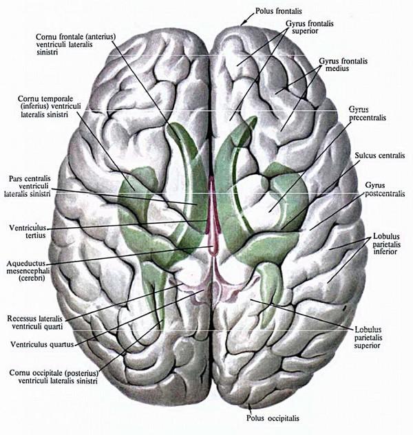 Дилатация боковых желудочков головного мозга у новорожденных