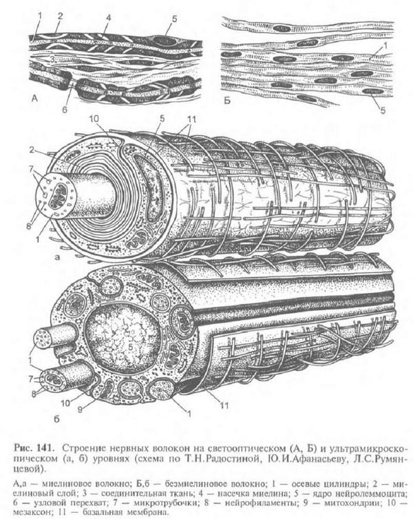 строение нервных волокон